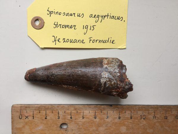Grote Spinosaurus fossiel