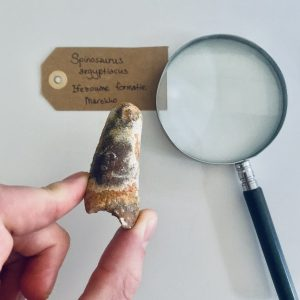 Robuuste middelgrote Spinosaurus tand