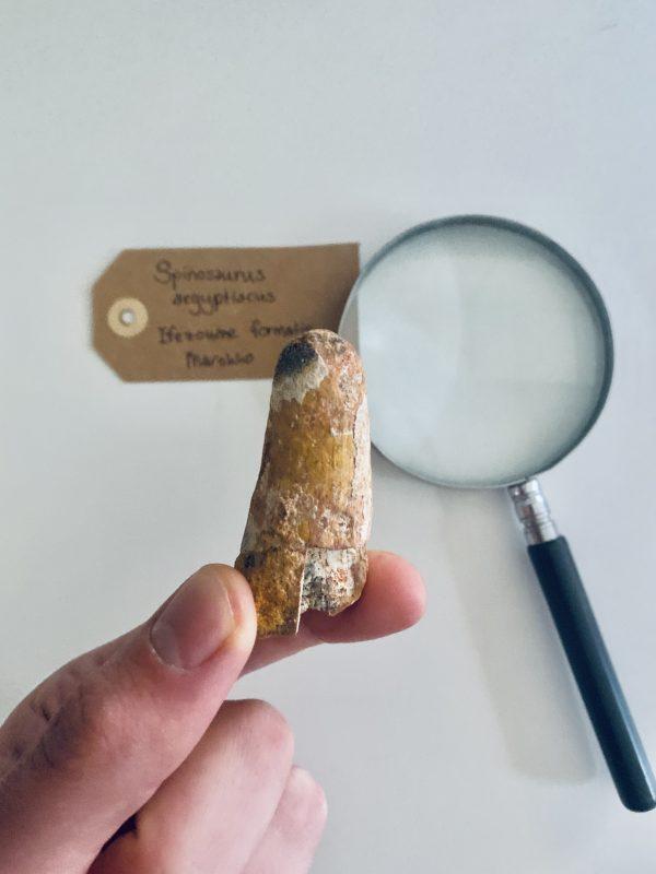 Robuuste middelgrote dinosaurus tand
