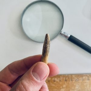 Prachtige kwaliteit Diplodocus sp tand