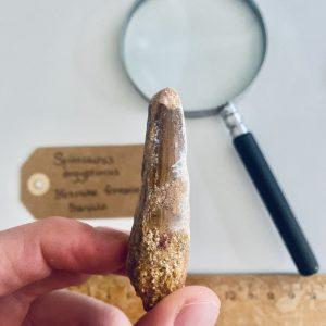 Grote fossiele dinosaurus tand