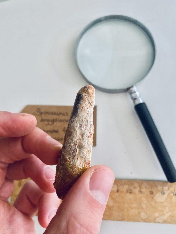 Fossiele dinosaurus botten