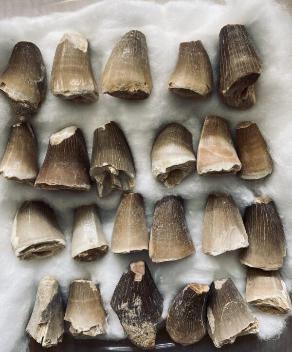 Authentieke fossiele Mosasaurus tanden