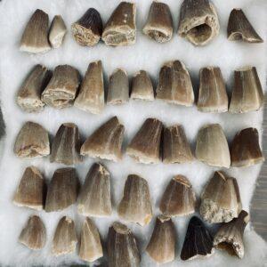 Fossiele Mosasaurus tanden